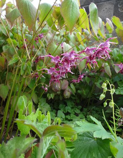 チングルマ、キバナシャクナゲなど、今咲いている山野草を少し_a0136293_1755149.jpg