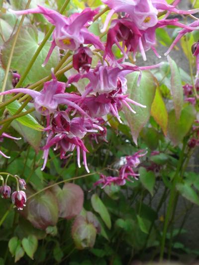 チングルマ、キバナシャクナゲなど、今咲いている山野草を少し_a0136293_1763943.jpg