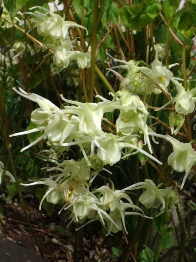 チングルマ、キバナシャクナゲなど、今咲いている山野草を少し_a0136293_1773322.jpg