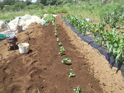 初夏ですが..秋野菜の植え付け!_b0137932_17581029.jpg