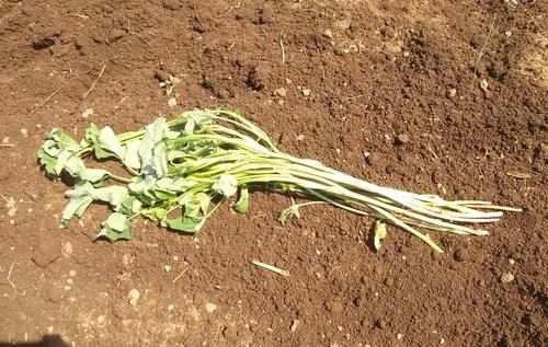 初夏ですが..秋野菜の植え付け!_b0137932_17583413.jpg