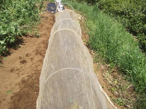初夏ですが..秋野菜の植え付け!_b0137932_17585391.jpg