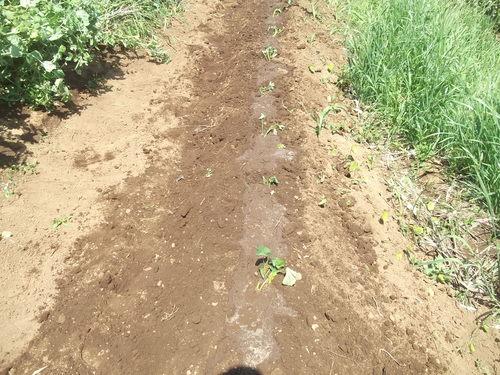 初夏ですが..秋野菜の植え付け!_b0137932_1801545.jpg