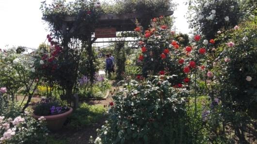 たくさんのバラ好きさんで連日大賑わい_e0356469_19421537.jpg
