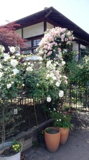 たくさんのバラ好きさんで連日大賑わい_e0356469_19431721.jpg