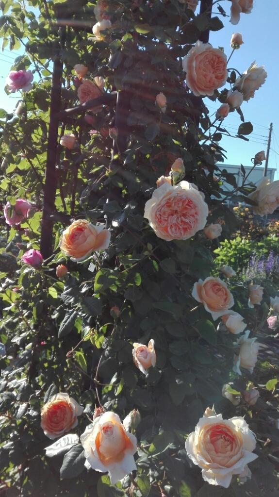たくさんのバラ好きさんで連日大賑わい_e0356469_21441555.jpg