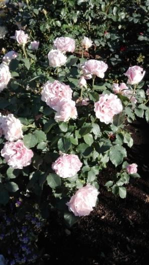 たくさんのバラ好きさんで連日大賑わい_e0356469_21441716.jpg
