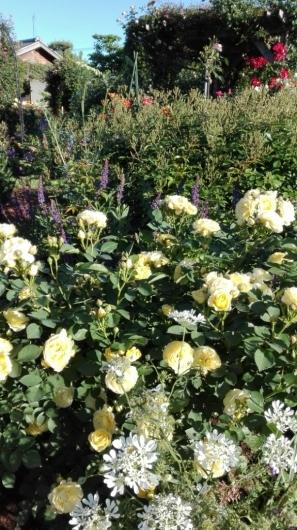 たくさんのバラ好きさんで連日大賑わい_e0356469_21441818.jpg