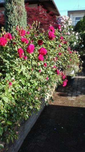 たくさんのバラ好きさんで連日大賑わい_e0356469_21442030.jpg