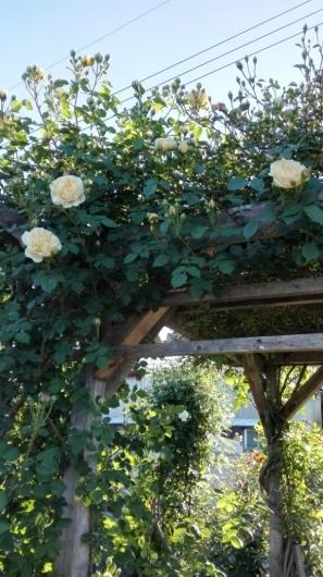 たくさんのバラ好きさんで連日大賑わい_e0356469_21442412.jpg