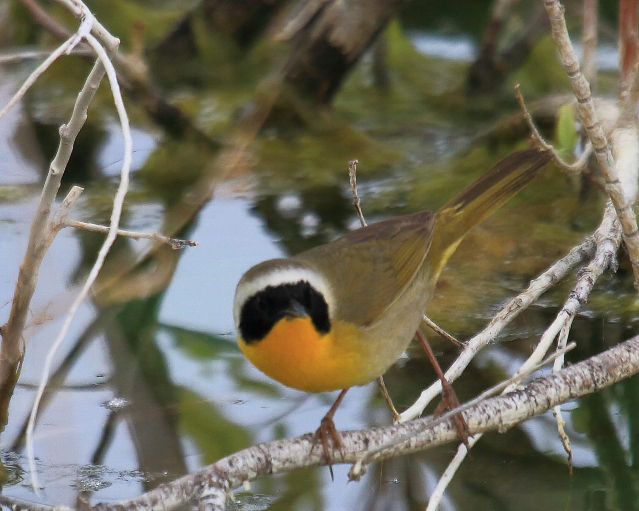 ネヴァダ州の鳥その4: カオグロアメリカムシクイ_f0105570_2245013.jpg