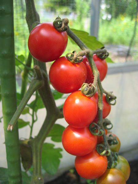 今年のトマト苗について_a0292194_21204320.jpg