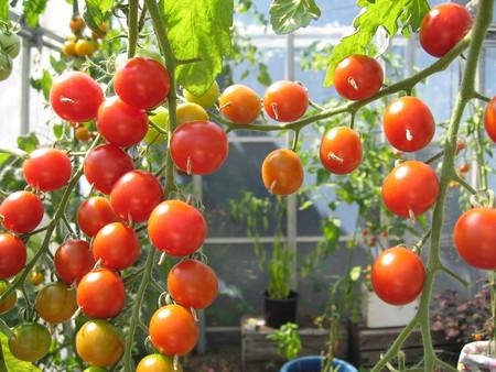 今年のトマト苗について_a0292194_21311375.jpg