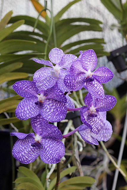 V.coerulea Blue(バンダ:セルレア・ブルー)_d0007501_18224928.jpg