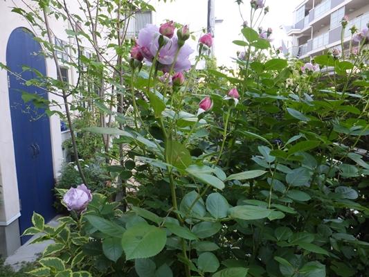ノヴァーリスとブラウニーローズ咲きました_f0035506_21143184.jpg