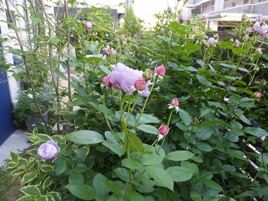 ノヴァーリスとブラウニーローズ咲きました_f0035506_21145146.jpg