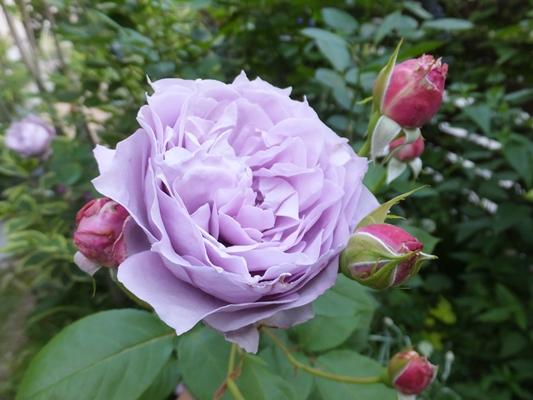 ノヴァーリスとブラウニーローズ咲きました_f0035506_21152842.jpg