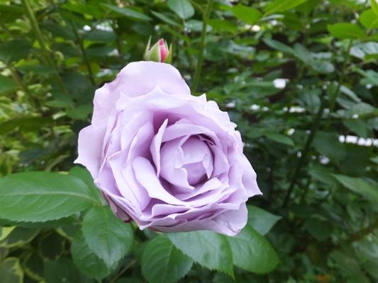 ノヴァーリスとブラウニーローズ咲きました_f0035506_21153762.jpg