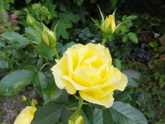 ノヴァーリスとブラウニーローズ咲きました_f0035506_21155370.jpg