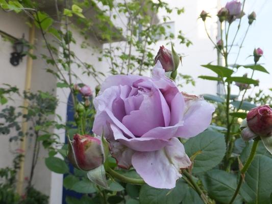 ノヴァーリスとブラウニーローズ咲きました_f0035506_2115874.jpg