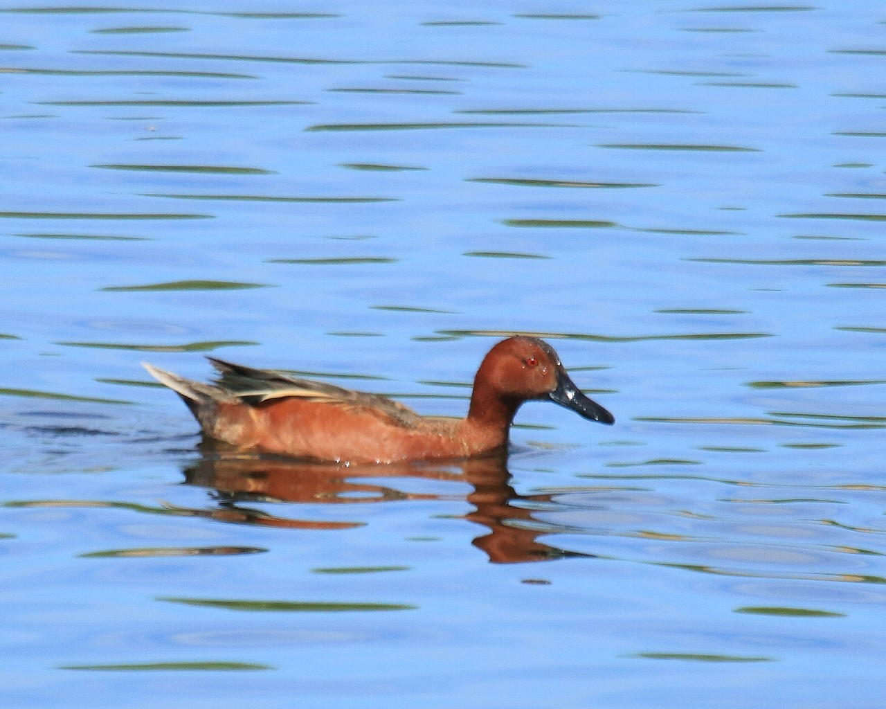 ネヴァダ州の鳥その5: これも2回目で写真が撮れた!_f0105570_22412419.jpg