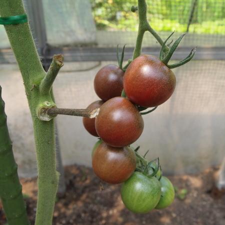 今年のトマト苗について_a0292194_20304634.jpg