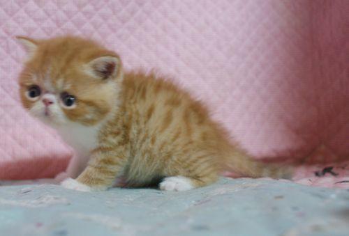 エキゾチックショートヘア子猫 4月12日生 レッド坊や_e0033609_09420765.jpg