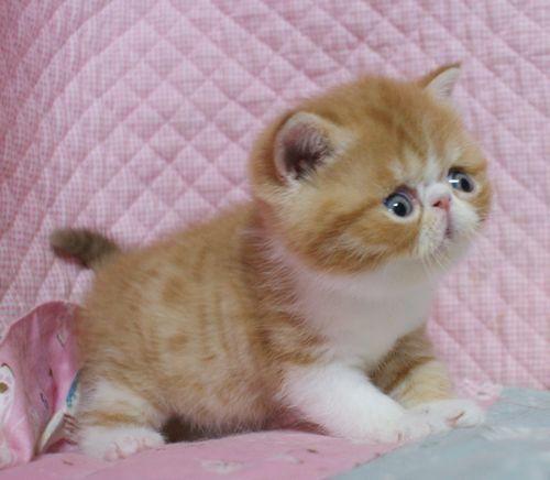 エキゾチックショートヘア子猫 4月12日生 レッド坊や_e0033609_09422879.jpg