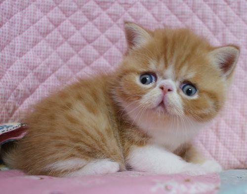エキゾチックショートヘア子猫 4月12日生 レッド坊や_e0033609_09423765.jpg