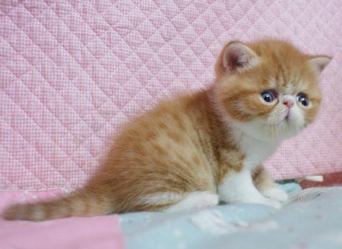 エキゾチックショートヘア子猫 4月12日生 レッド坊や_e0033609_09424853.jpg