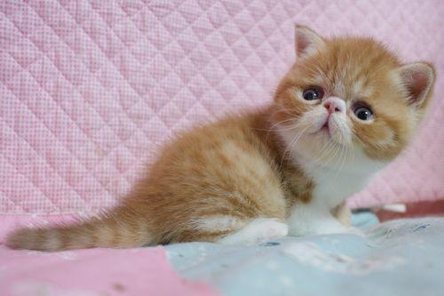 エキゾチックショートヘア子猫 4月12日生 レッド坊や_e0033609_09425624.jpg