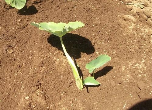 初夏ですが..秋野菜の植え付け!_b0137932_1945169.jpg