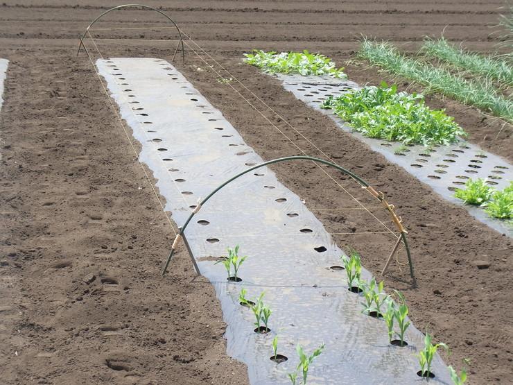 第2弾トウモロコシを蒔きました_d0225575_14285295.jpg