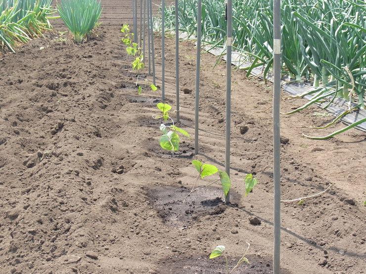 第2弾トウモロコシを蒔きました_d0225575_14515793.jpg