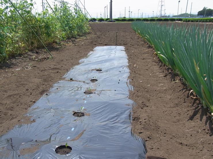 第2弾トウモロコシを蒔きました_d0225575_1552979.jpg