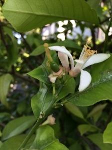 小さなレモン Il piccolo limone_a0059035_21023707.jpg