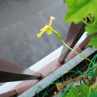ゴーヤの花が咲きました。_c0195909_13344376.jpg