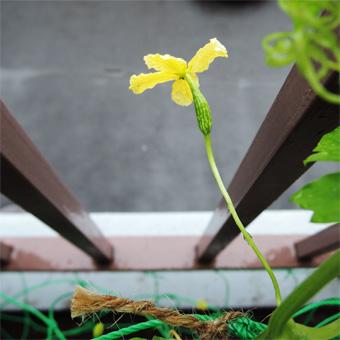 ゴーヤの花が咲きました。_c0195909_13344835.jpg