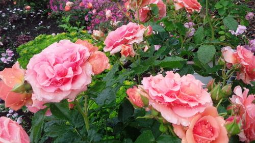 平塚「花菜ガーデン」バラをご一緒に・・・♡_e0131324_1932227.jpg