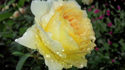 平塚「花菜ガーデン」バラをご一緒に・・・♡_e0131324_19325673.jpg