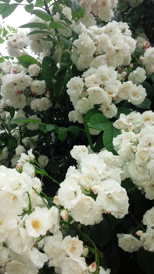 平塚「花菜ガーデン」バラをご一緒に・・・♡_e0131324_19335815.jpg