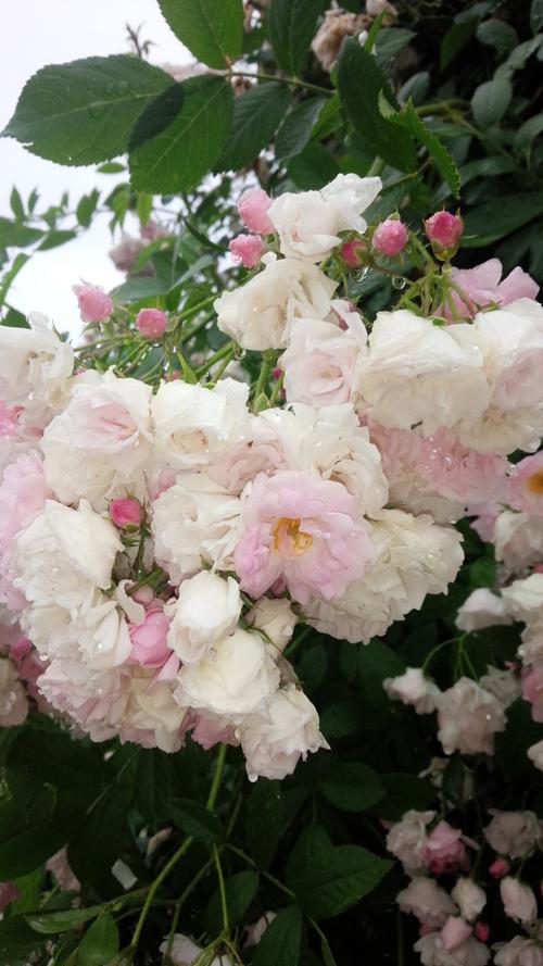 平塚「花菜ガーデン」バラをご一緒に・・・♡_e0131324_19345473.jpg