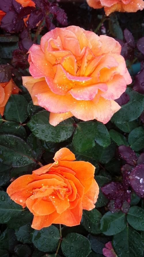 平塚「花菜ガーデン」バラをご一緒に・・・♡_e0131324_19354812.jpg