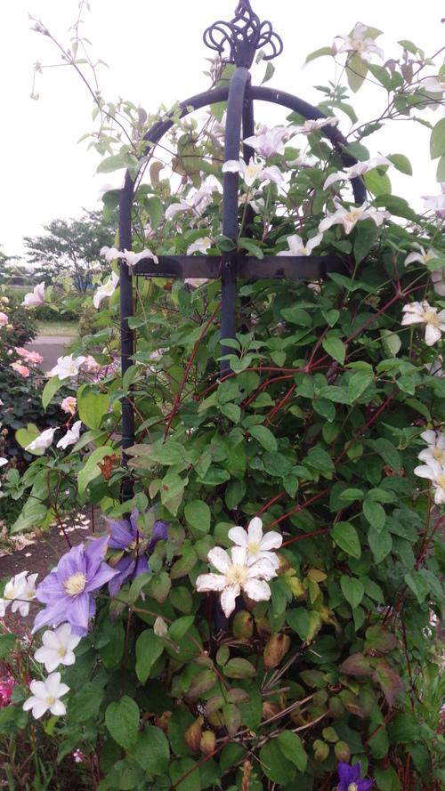 平塚「花菜ガーデン」バラをご一緒に・・・♡_e0131324_19361041.jpg