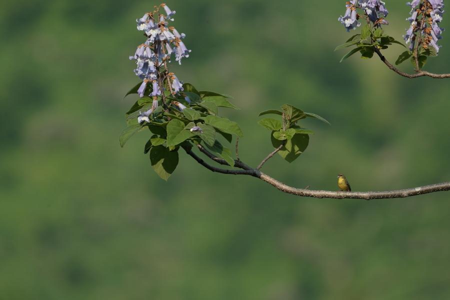 一番大好きな鳥【ノジコ・クロツグミ・サシバ】_b0113228_12144348.jpg