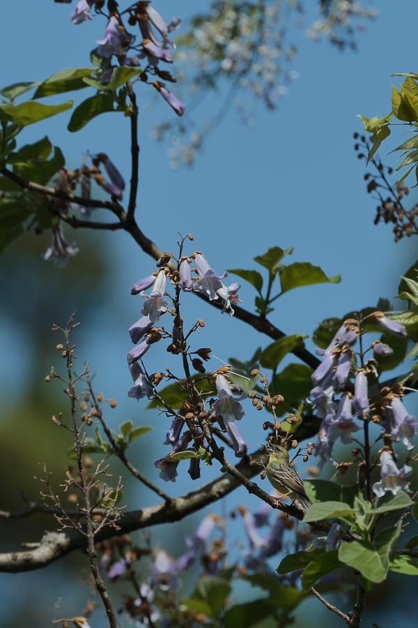 一番大好きな鳥【ノジコ・クロツグミ・サシバ】_b0113228_12152294.jpg