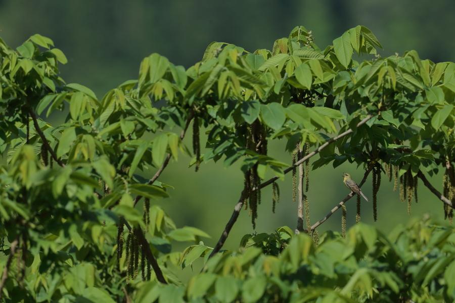 一番大好きな鳥【ノジコ・クロツグミ・サシバ】_b0113228_12153154.jpg