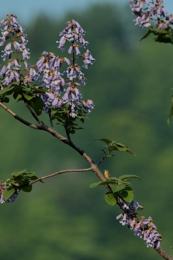 一番大好きな鳥【ノジコ・クロツグミ・サシバ】_b0113228_1215974.jpg