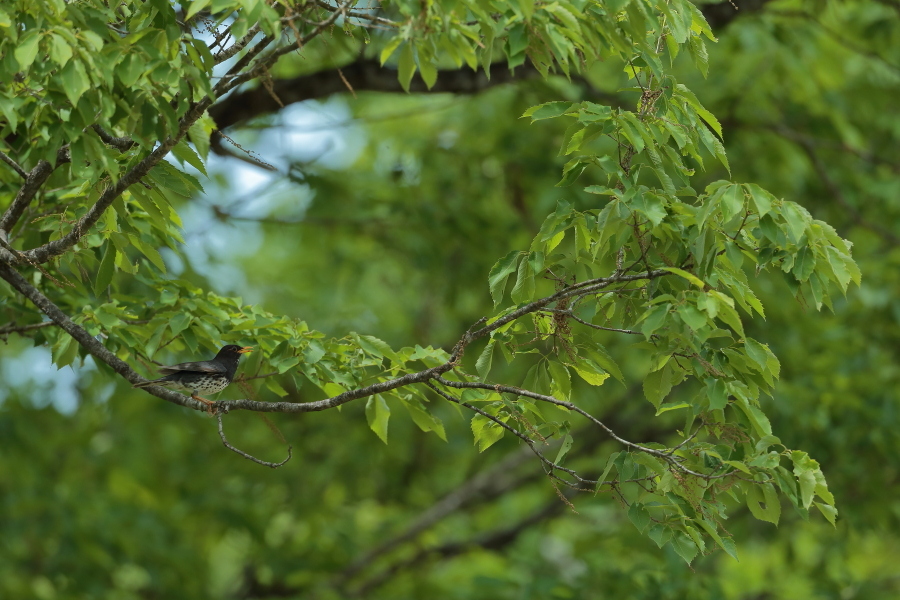 一番大好きな鳥【ノジコ・クロツグミ・サシバ】_b0113228_12163634.jpg