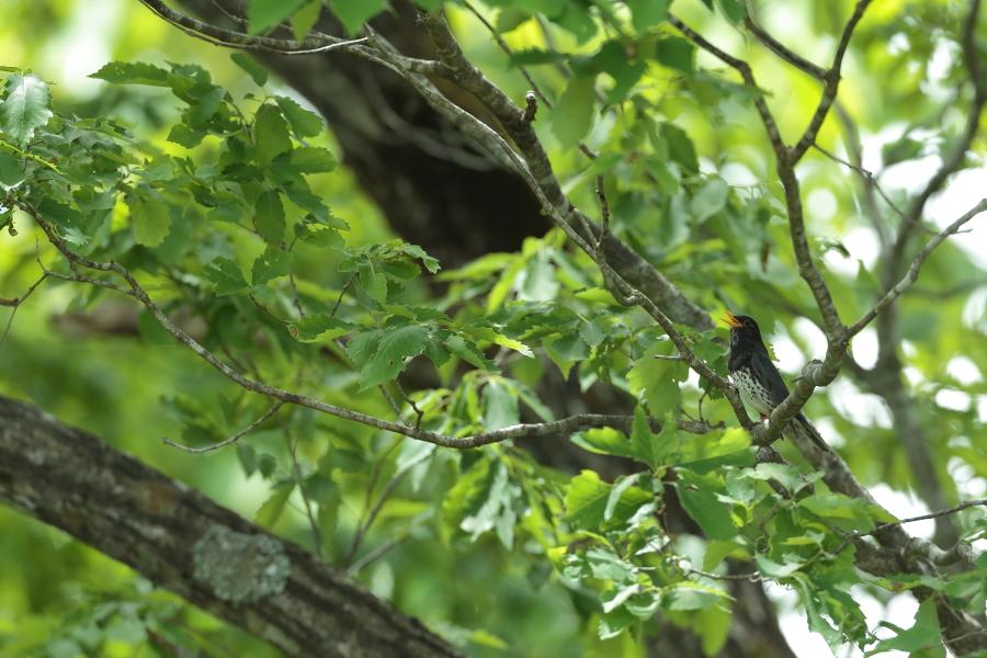 一番大好きな鳥【ノジコ・クロツグミ・サシバ】_b0113228_12164519.jpg
